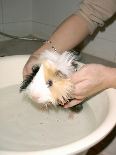 "Our Guinea Pig, Yin-no-suke is bathing in Apr 2003.  He has recovered from ""Death"" at ER.  His Chinese name is Yin Yeu"