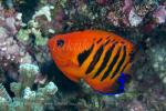 Angelfish 01tc Flame Angelfish @ Blue Hole 7121