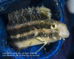 Blenny 11tc Sabre-tooth w Parasite in Jeans 5743 Ambon2014