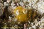 Bobtail Squid 05tc 1055 copy