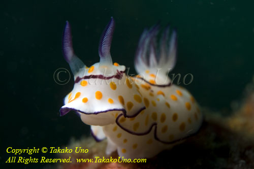 Nudi 65tc Ringed Chromodoris 3955 copy