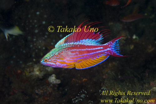 Wrasse 02tc Flasher, male, of, Paracheilinus cyaneus mostly